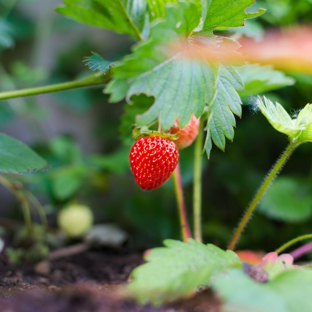 fresh strawberry plant